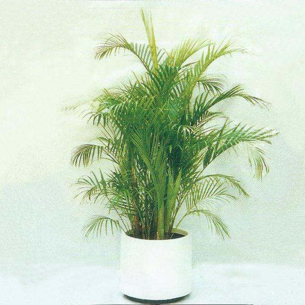 植物租售-P003 散尾葵