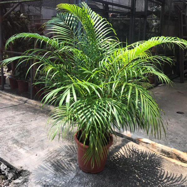 植物租售-P003-1散尾葵