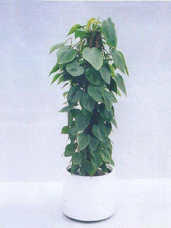 植物租售-P004杏葉