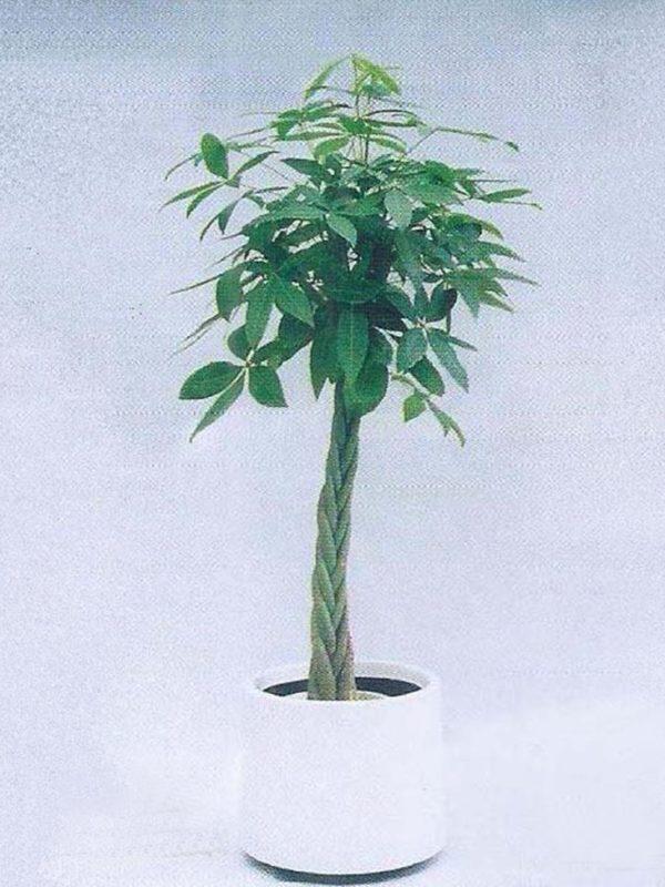 植物租售-P005 南洋花生