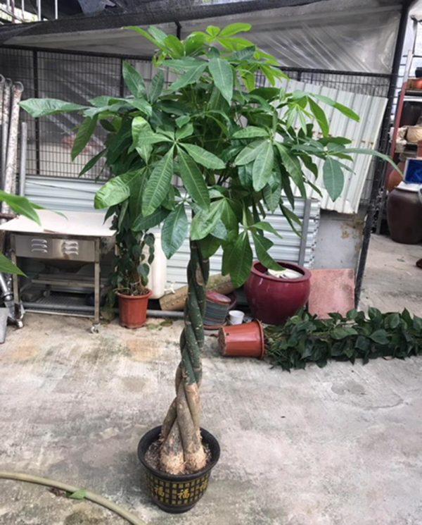 植物租售-P005-1南洋花生