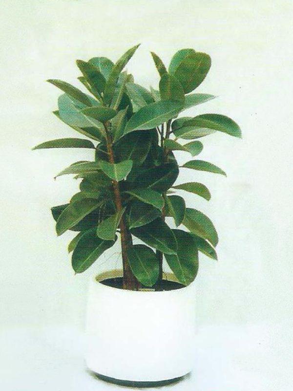 植物租售-P006橡樹