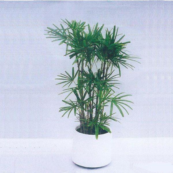 植物租售-P007 棕竹