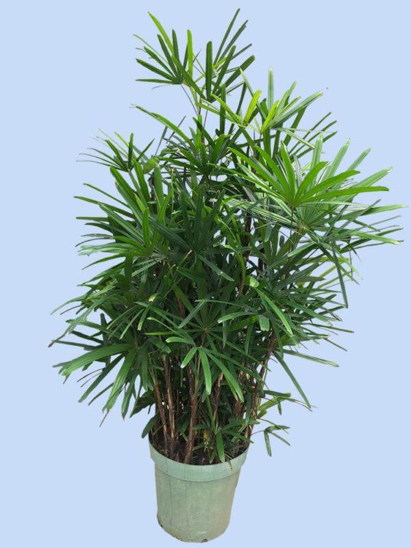 植物租售-P007-1棕竹