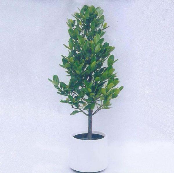 植物租售-P008福木
