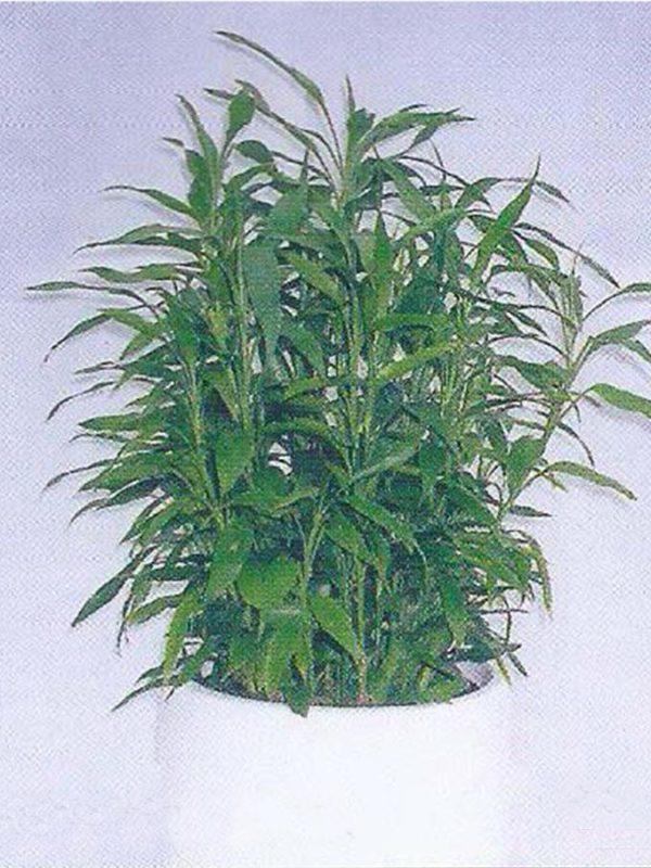植物租售-P009富貴竹