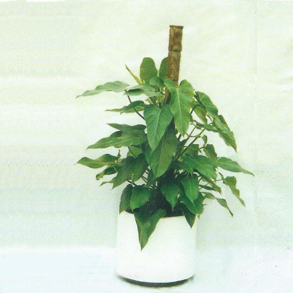 植物租售-P010牛脷