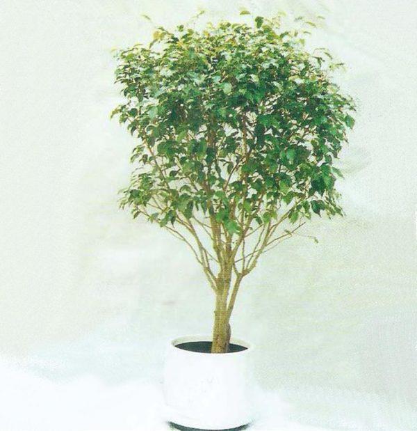 植物租售-P011台灣榕樹