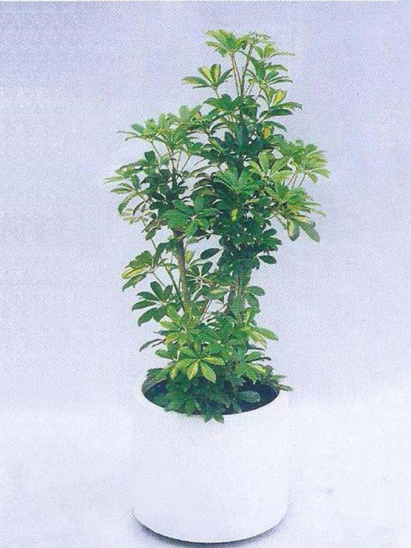 植物租售-P012花百葉
