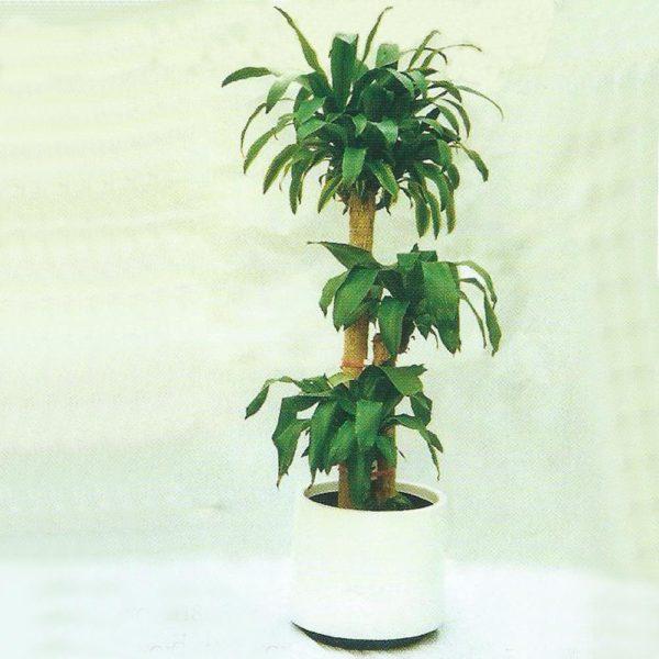 植物租售-P013三枝鐵