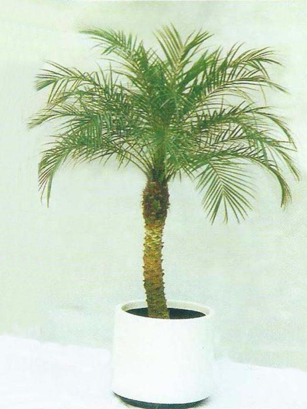 植物租售-P014金山葵