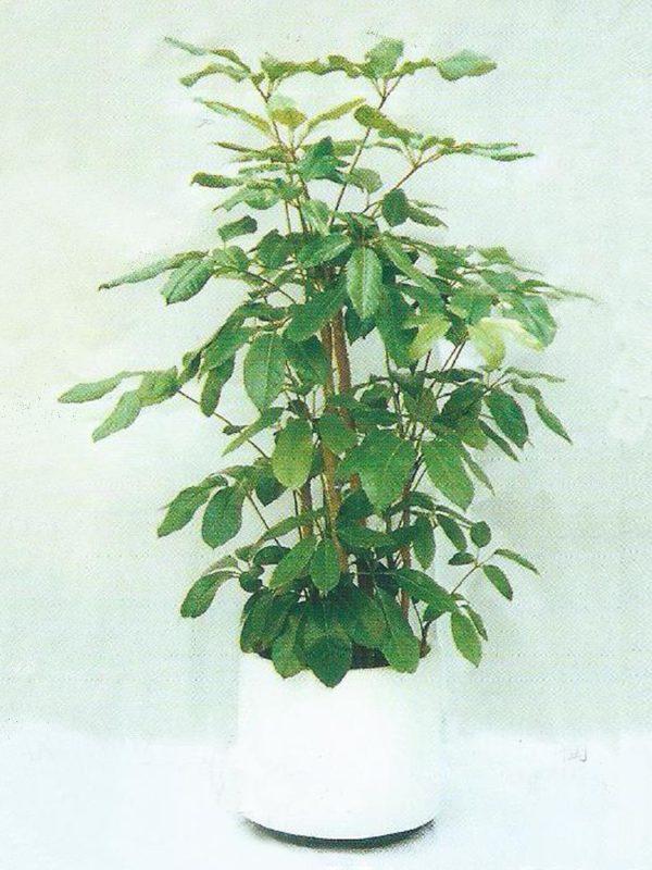 植物租售-P015遮樹