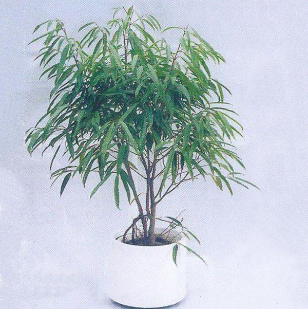 植物租售-P016尖葉榕