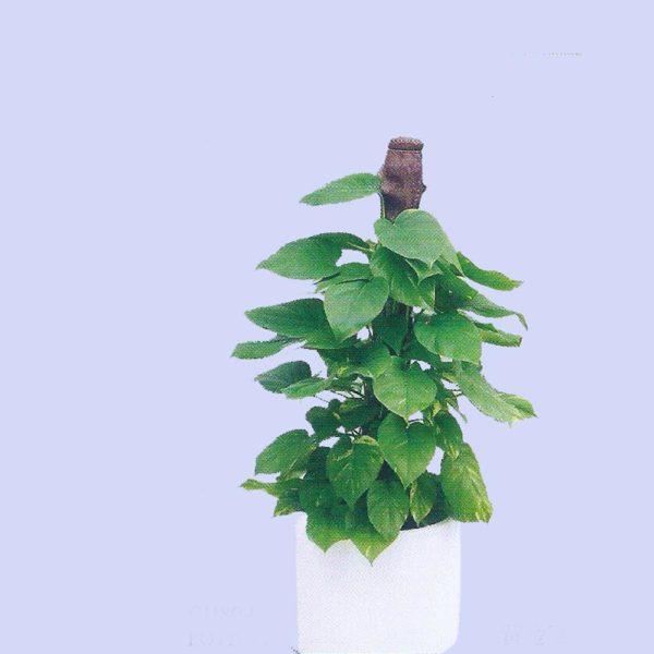 植物租售-P017 黃金葛