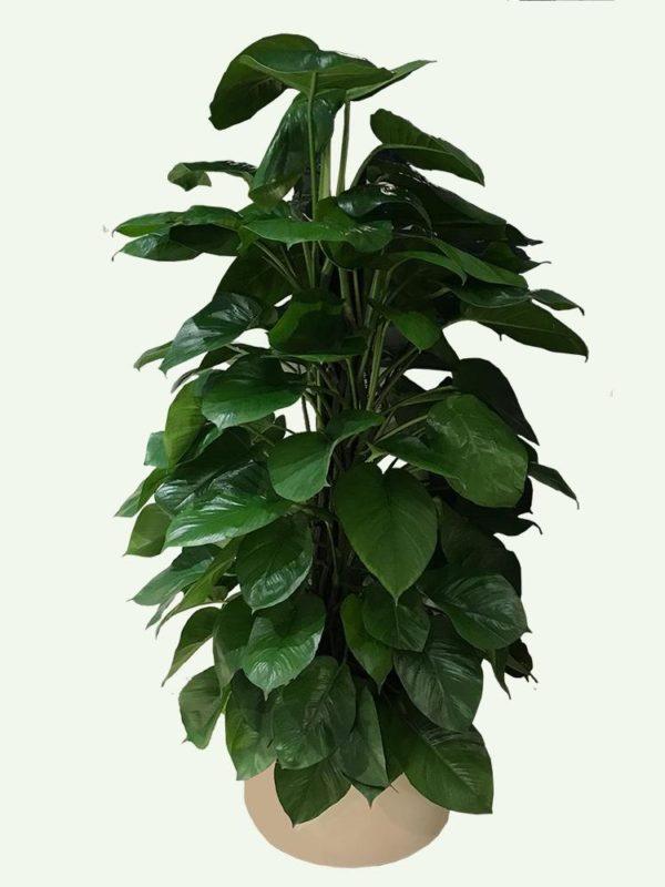 植物租售-P017-1 黃金葛樹