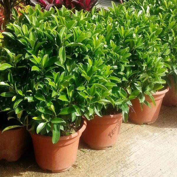 植物租售-P021