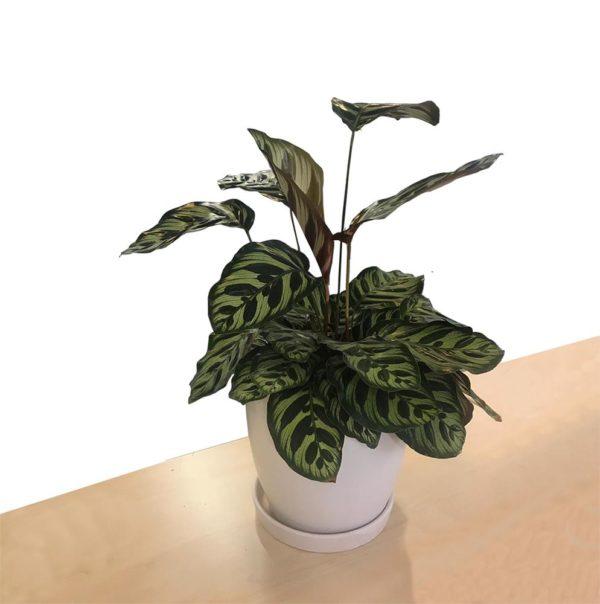 植物租售-P027冬葉