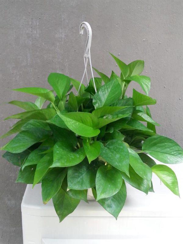 植物租售-P031 黃金葛