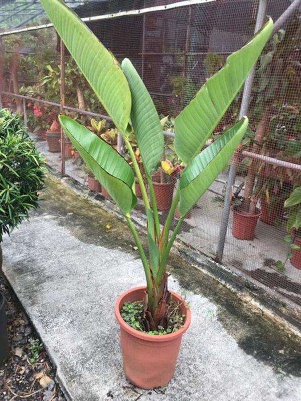 植物租售-P047 (4尺蕉樹)