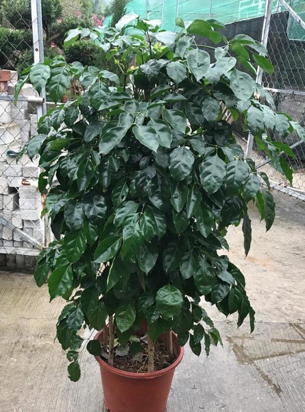 植物租售-P049 (綠寶石)