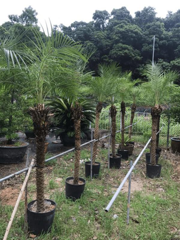 P045-5尺金山葵