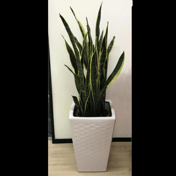 P048-3.5尺虎尾蘭
